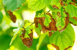 Disease of fruit trees. Erwinia amylovora bacteria atacks fruit trees ( apples , pears ) leaves stock image