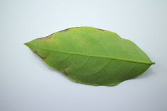 Disease Green leaf of star gooseberry Royalty Free Stock Images