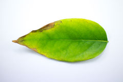 Disease Green leaf of star gooseberry Stock Image