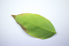 Disease Green leaf of star gooseberry Stock Photography