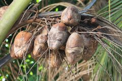 Disease infected coconut fruits Royalty Free Stock Images