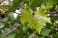 Disease on leaf of vine Sick leaves of vine in vineyard. Stock Photography
