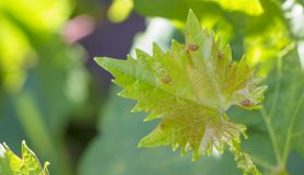 Disease on leaf of vine Sick leaves of vine in vineyard. Stock Photo
