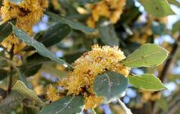 Disease on leaves of laurel Royalty Free Stock Image