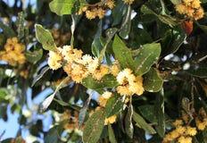 Disease on leaves of laurel Stock Photos