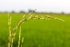 Disease threat to rice crop in Thailand Stock Images