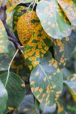 Disease of the tree. Yellow spots on the leaves of the tree and the disease of the fruit tree Stock Photos