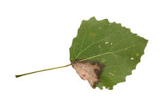 Diseased aspen leaf isolated on white Royalty Free Stock Photo