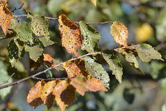 Diseased autumn leaves Royalty Free Stock Images