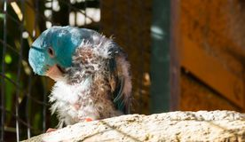 Diseased blue small parrot, scratching from the itch and plucking its feathers, probably bird lice or mites. A diseased blue small parrot, scratching from the stock photography