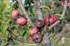 Diseased branches of an apple tree and ripe red rotten apples. Closeup stock photography
