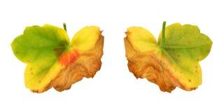 diseased fungal leafpelargonia för attack Arkivbilder
