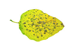 Diseased ivy leaf isolated on white. For background Stock Photo
