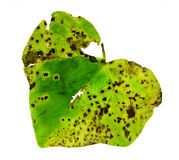 Diseased leaf. Close-up of diseased english ivy leaf Royalty Free Stock Photos
