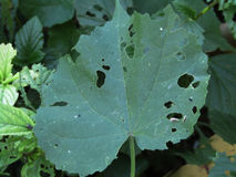 Diseased leaf. Leaf curl is a plant disease characterized by curling of leaves, and caused by a fungus, genus Taphrina stock photo