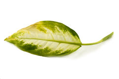 Diseased leaf Dieffenbachia. For your commercial Stock Images