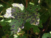 Diseased leaf. Disease pattern on a green leaf Stock Photography