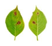 Diseased leaf of Hydrangea serrata Blue Bird - fu. Ngus Cercospora - isolated stock images