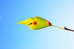 Diseased leaf of Hydrangea serrata Blue Bird fungus Cercospora Stock Images