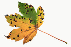 Diseased leaf isolated on white background Stock Photography