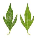 Diseased leaf of Rudbeckia laciniata flore pleno. Fungal attacked stock photos