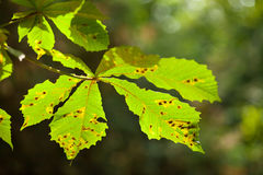 Diseased leaf. Sick leaf of chestnut tree in summer Royalty Free Stock Photography