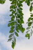 Diseased leaves Stock Image