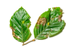 Diseased leaves of Fagus sylvatica. The leaves has the disease called Cecidomia due to the larva of dipteran Mikiola fagi Stock Image