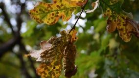 Diseased leaves on ornamental tree. Diseased and scaby leaves on ornamental tree stock video