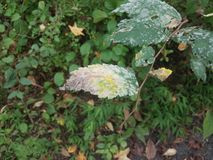 Diseased plant with green leaves with white patches. Sick or diseased plant with green leaves with white patches stock photo