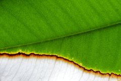 Diseased plant leaf Royalty Free Stock Photography