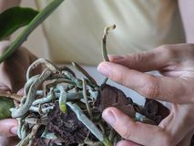 Diseased roots of plants. Diseased roots of the Orchid. Transplanting plants, home gardening. Diseased roots of plants. Diseased roots of the Orchid Stock Image