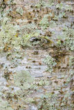 Diseased tree with green fungus Royalty Free Stock Photos