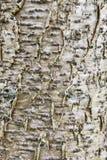 Diseased tree with peeling bark Stock Photo