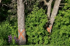 Diseased trees `X`ed as a signal for removal. Mature diseased tree are marked with an orange `X` indicting they need to be cut down and removed stock photos