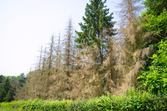 Diseased trees in a healthy forest Stock Image
