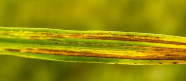 Diseased wheat  leaf. A leaf of wheat attacked with septoria tritici Stock Photos