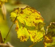 Diseased wine leaf. A leaf of wine attacked with powdery mildiou Stock Image