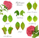 Diseases of Hydrangea macrophylla  flower Royalty Free Stock Photos
