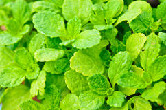 Diseases and insect  of peppermint  leaves Stock Photo