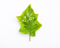 Diseases and insect pests of leaves on white background Royalty Free Stock Photography