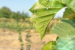Diseases and pests of nuts and leaves of hazelnut bushes close-up. The concept of chemical garden protection. Diseases and pests of nuts and leaves of hazelnut royalty free stock photography