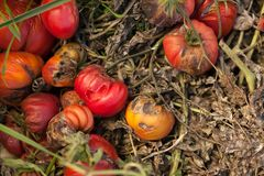 Diseases Of Tomato, late blight. Tomato Stricken Phytophthora Phytophthora Infestans. Ripe red tomatoes get sick by late blight Royalty Free Stock Photo