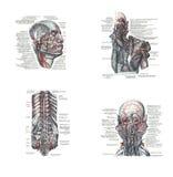 Disección de la cabeza humana libre illustration