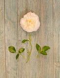Disected белая роза Стоковые Изображения RF
