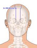 Disegnando con lo scheletro, punto BL3 Meichong, 3D Illust di agopuntura Immagine Stock