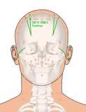 Disegnando con lo scheletro, punto GB15 Toulinqi, 3D Illus di agopuntura Immagini Stock Libere da Diritti
