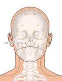 Disegnando con lo scheletro, punto LI20 Yingxiang, 3D Illu di agopuntura Immagini Stock