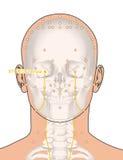 Disegnando con lo scheletro, punto ST1 Chengqi, 3D Illustr di agopuntura Fotografia Stock Libera da Diritti