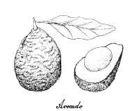Disegnato a mano degli avocado verdi su fondo bianco illustrazione di stock